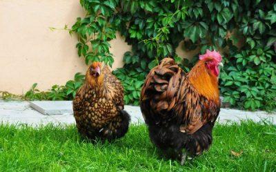 петух и курица орпингтон на траве