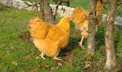жёлтые куры орпингтон