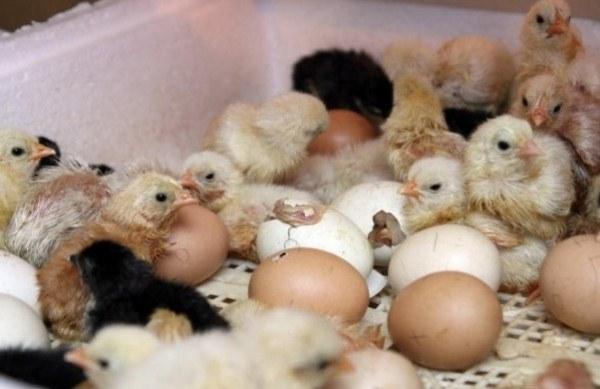 цыплята вылупливаются из яиц