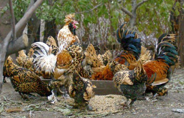 внешний вид кур и петухов павловской породы