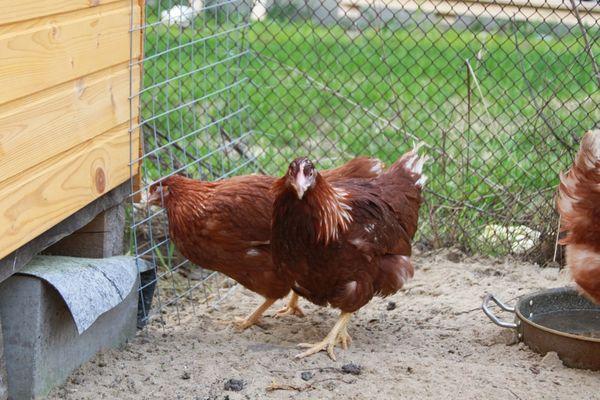 курицы в клетке