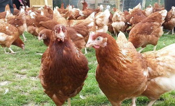 Кур породы хайсекс браун
