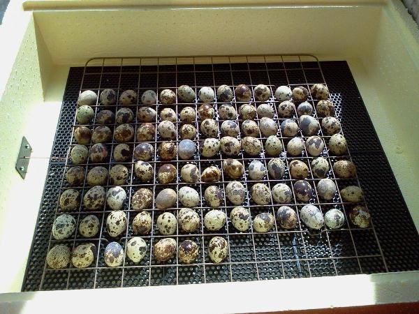 Перепелиные яйца в инкубаторе