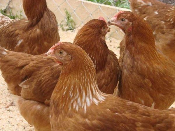 содержание кур в домашнем хозяйстве