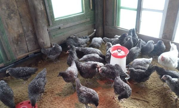 содержание кур в курятнике