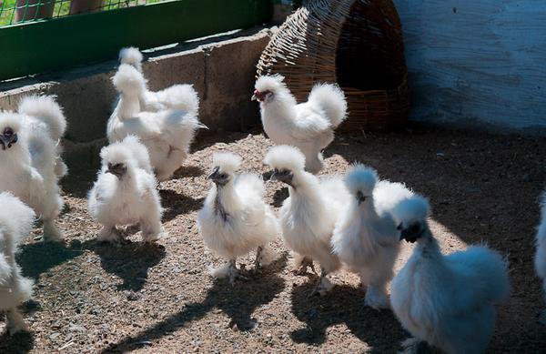 цыплята китайской шёлковой куры