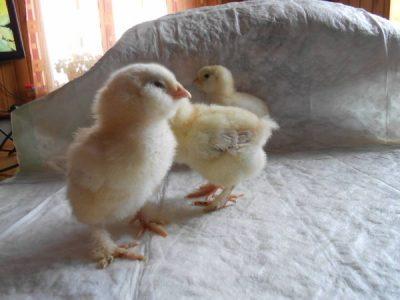 цыплятя Фавероль