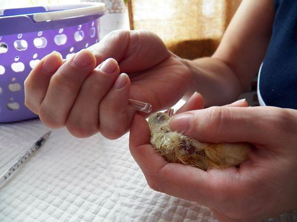 вакцинация птенцов