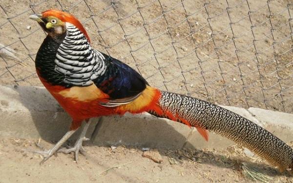 разведение фазана