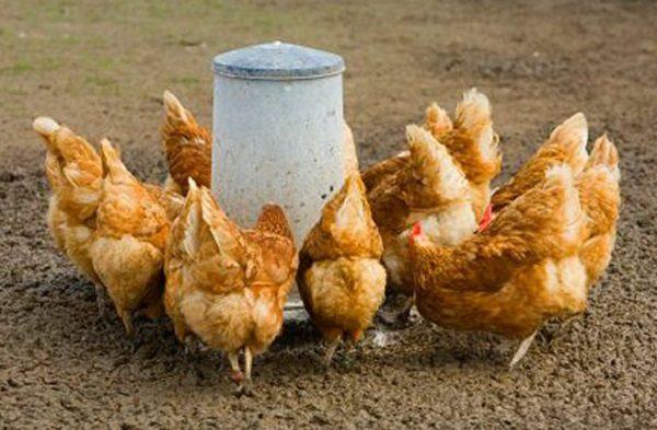 Запрещенные методы кормления курицы несушки
