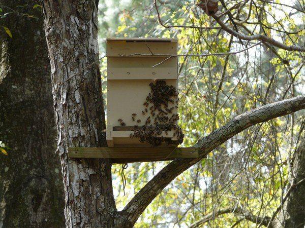 Ловушка для пчел с прилетевшими насекомыми