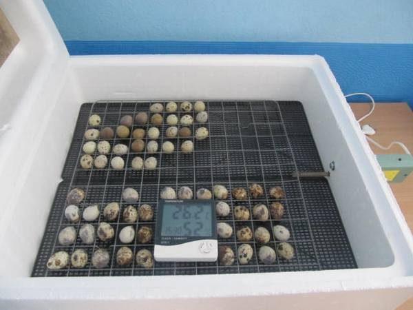 Закладка яиц в инкубатор и проверка необходимой температуры