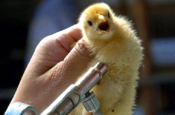 Вакцинация цыплят от кокцидиоза