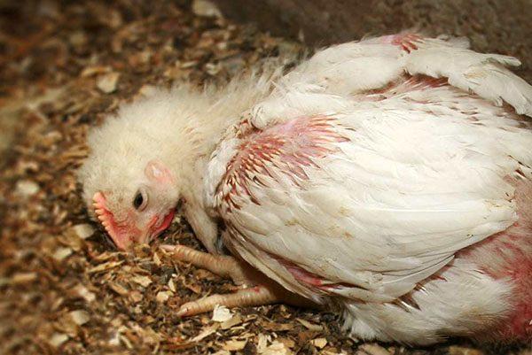 Курица, заболевшая кокцидиозом