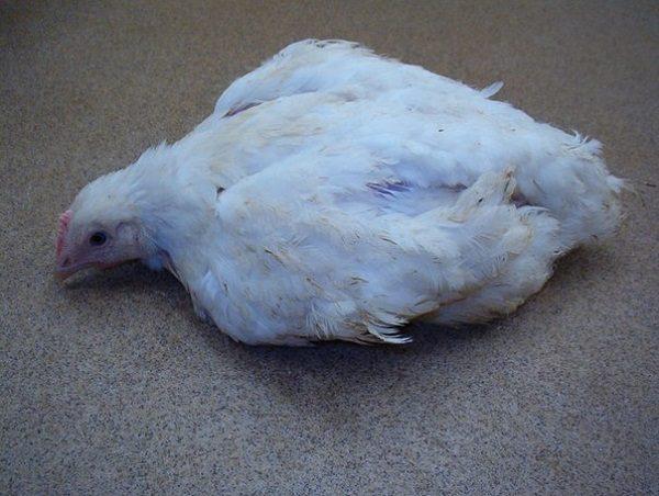 Больная кокцидиозом курица
