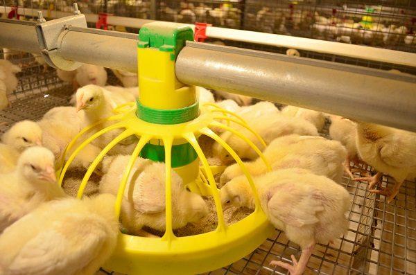 Организация питания цыплят