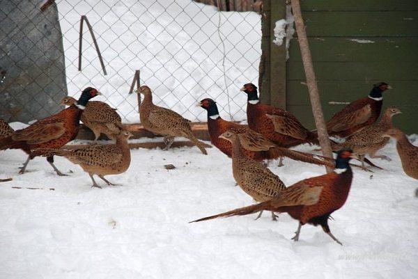 фазаны зимой