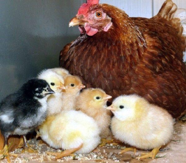 Больные кокцидиозом цыплята