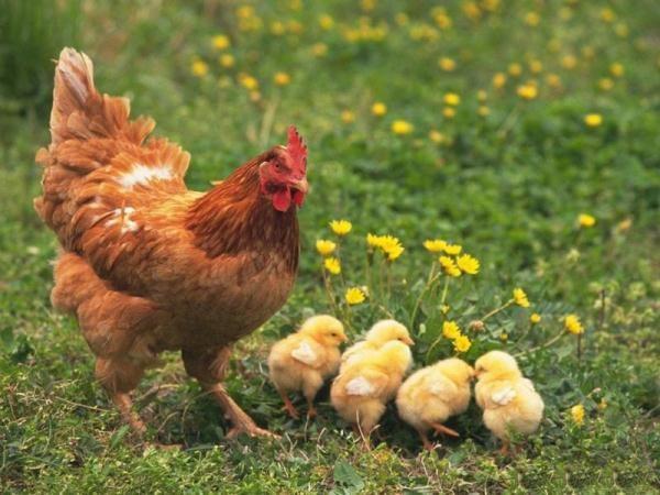 Курица домашняя с цыплятами
