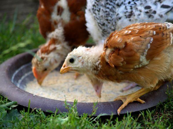 месячные цыплята