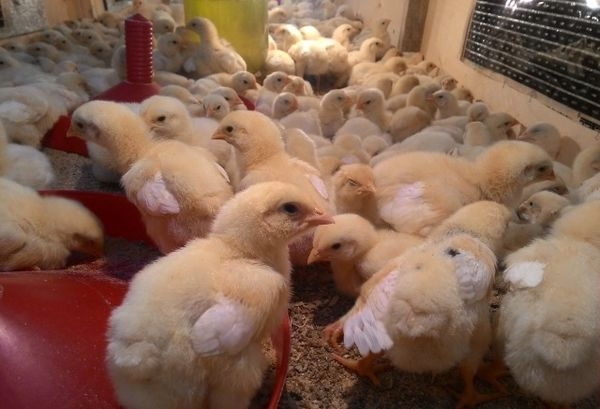недельные цыплята