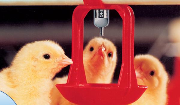 Цыплята пьют из поилки