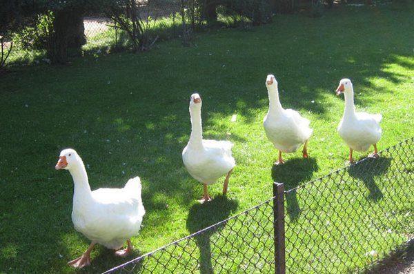 Взрослые гуси на прогулке в загоне