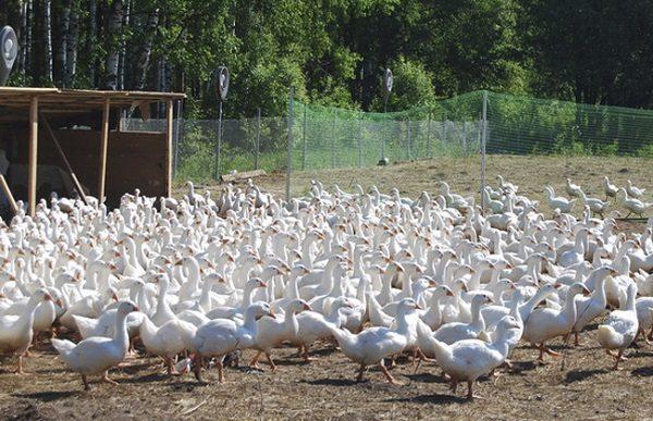 Разведение гусей. Гусиная ферма