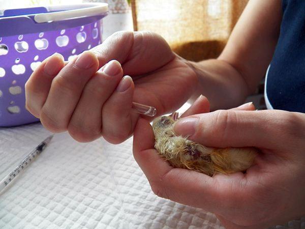 Цыплятам капают водку в клюв