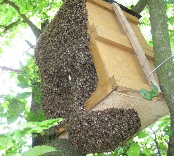 как поймать пчел ловля роев