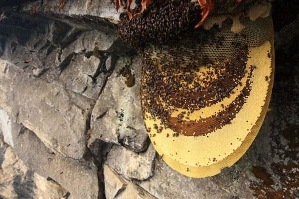 Дикие пчелы и горный мёд в сотах
