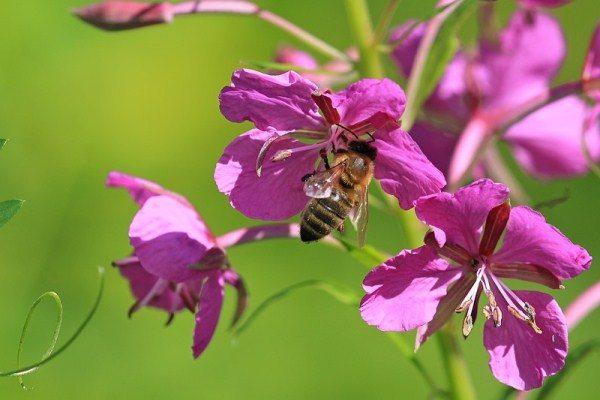 Пчела собирает нектар из цветка Иван-чая