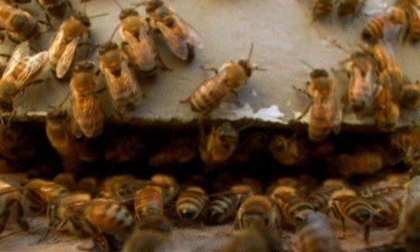 Запаривание пчел