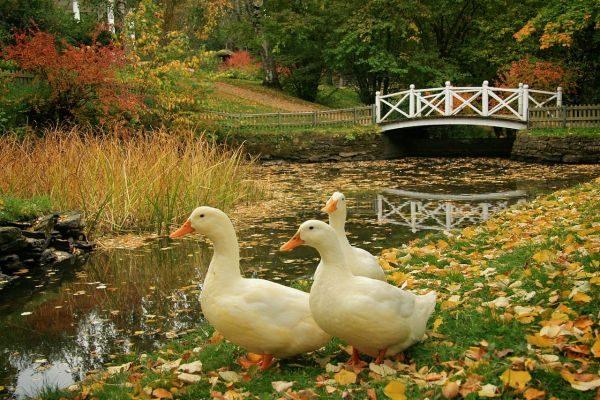 Взрослые особи утки на прогулке у пруда