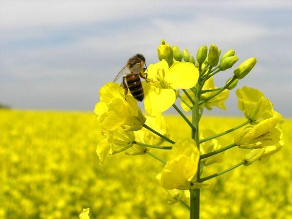 Пчёлы собирают нектар с цветов рапса
