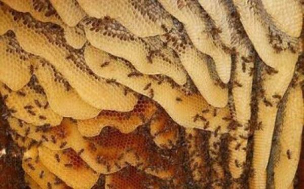 Мёд диких пчёл в сотах