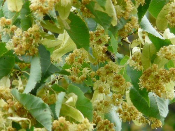 Цветы липы и пчела