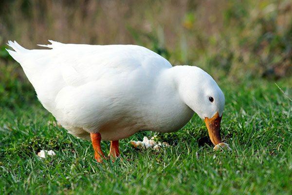 Взрослая утка в поисках еды
