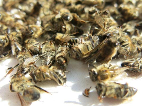 Пчелиный помор
