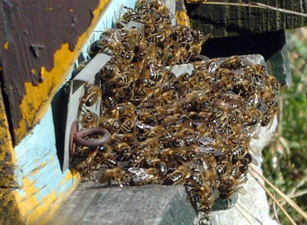 Мертвые пчелы на летке