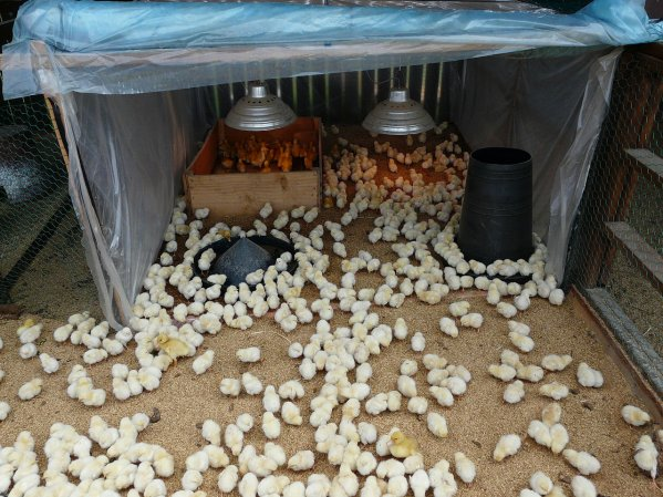 Месячные цыплята в загоне