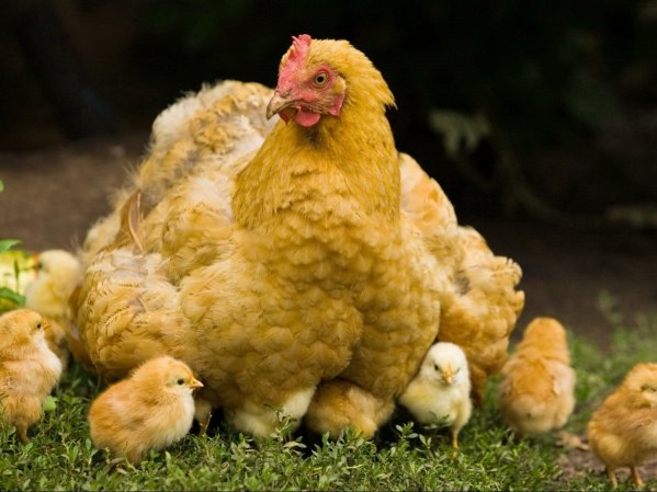 Высиживание цыплят при помощи курицы наседки