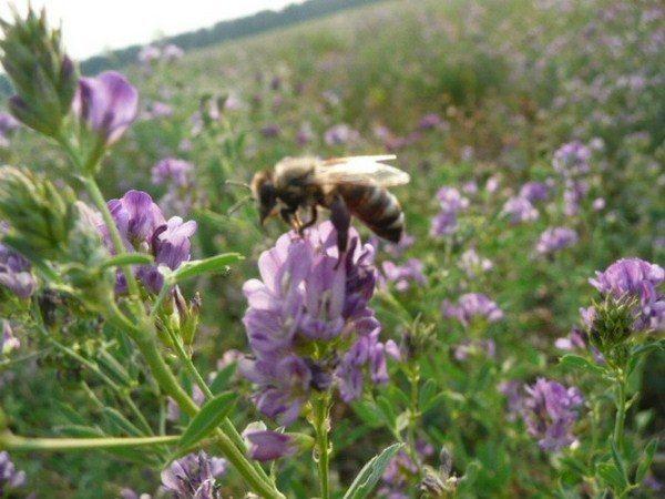 Пчела собирает нектар с цветка люцерны