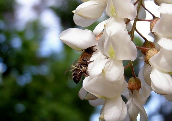 Пчела собирает нектар на цветке белой акации