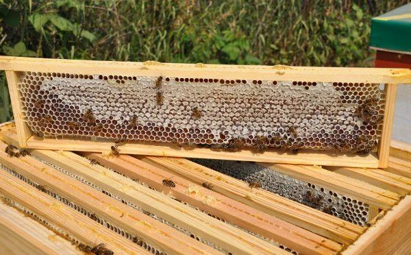 Дягилевый мед в сотах