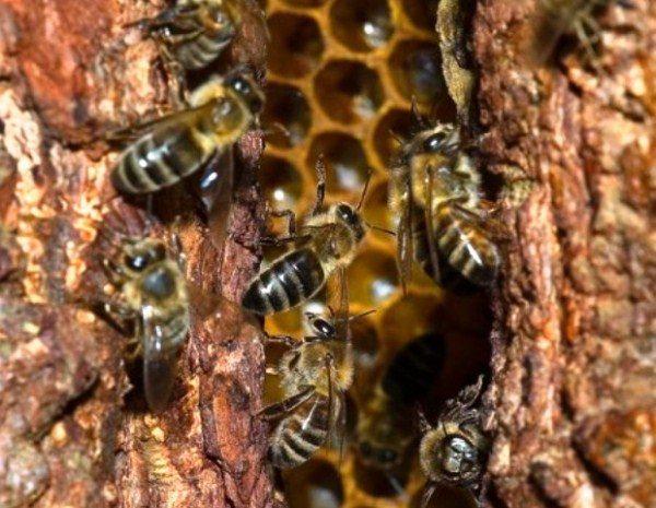 Дикие пчёлы