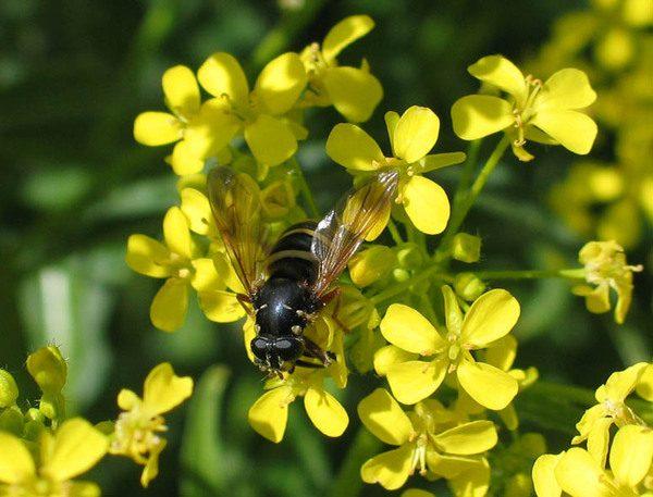 Желтый донник и пчела