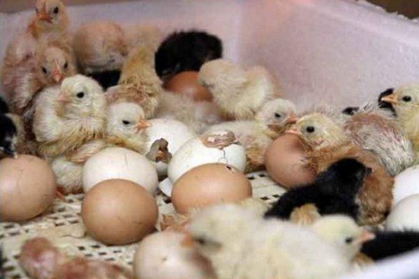 Только что вылупившиеся цыплята бройлеры