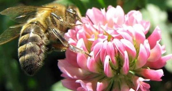 Пчела собирает нектар с цветка клевера