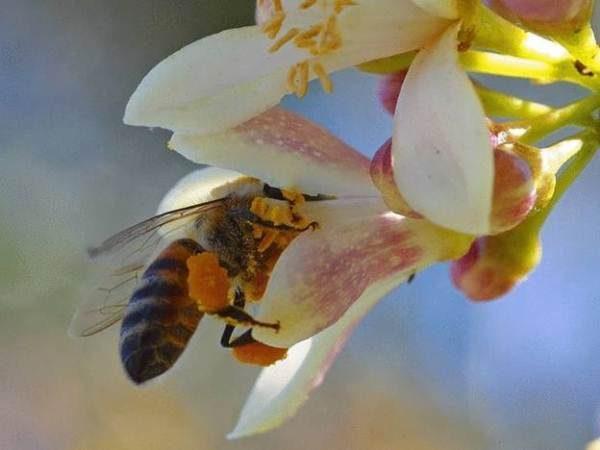 Пчела собирает нектар с цветка чайного дерева